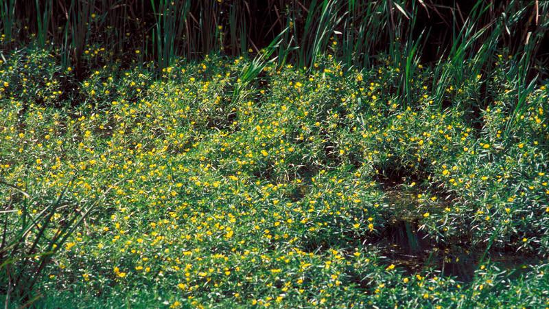 Ludwigiagrandiflora 1