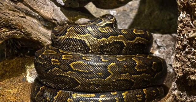 Piton serpiente