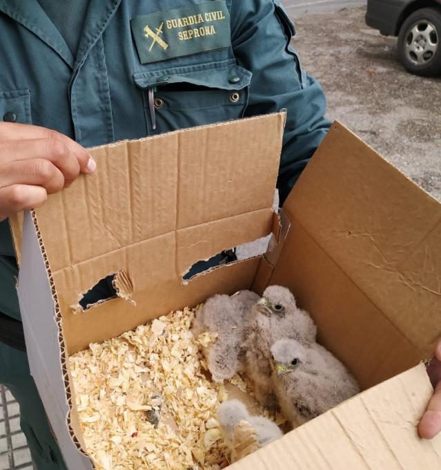Investigan a un vecino de O Salnés por expoliar un nido de cernícalo en O Grove y llevarse cuatro polluelos