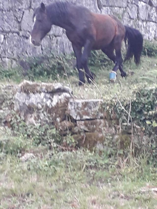 Animalistas denuncian el maltrato a caballos tras un nuevo caso de un équido con un cepo clavado en Covelo (Pontevedra)