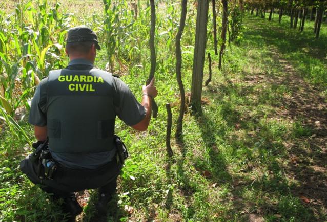 Detenido un vecino de Cambados (Pontevedra) por daños en 300 cepas de albariño debidos a una supuesta rencilla personal.