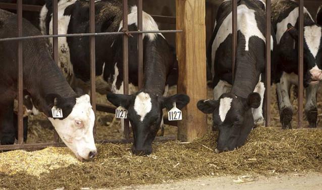 Vacas, fuente emisora de metano