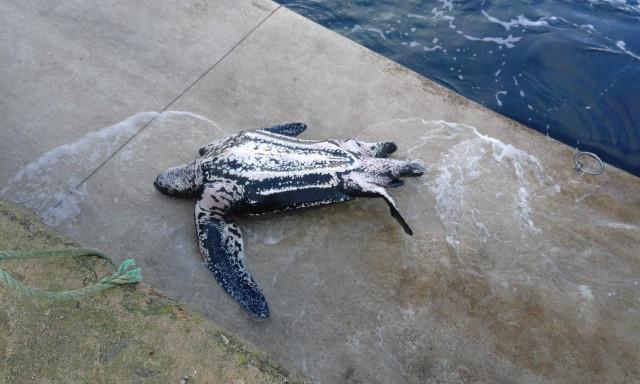 Ejemplar de tortuga laúd varado en el puerto de Malpica (A Coruña)