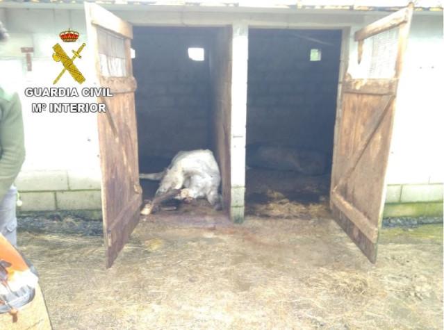 Investigado un vecino de Melide (A Coruña) por la muerte de siete caballos.