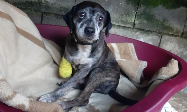Investigado un vecino de Moaña (Pontevedra) acusado de amputarle una pata a su perro.