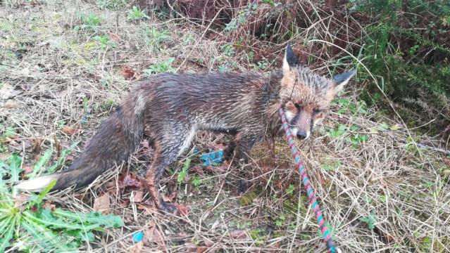 El zorro se encontró en una avenida de Vigo